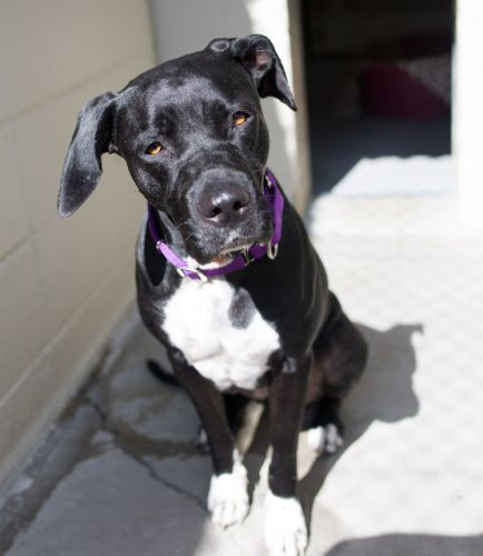 """DHARMA"" beautiful black and white American Shelter Dog mix"