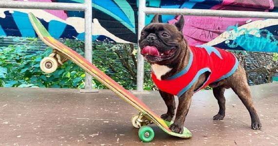 No One Shreds On A Skateboard Like Nord Boss The French Bulldog