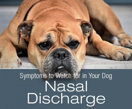 Symptoms to Watch for in Your Dog: Nasal Discharge