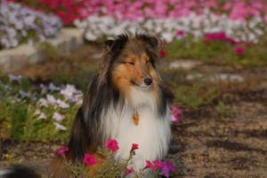 3 Signs Your Shetland Sheepdog Is Overweight