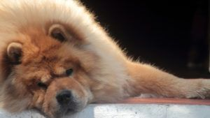 Choosing The Best Joint Supplement for a Chow Chow