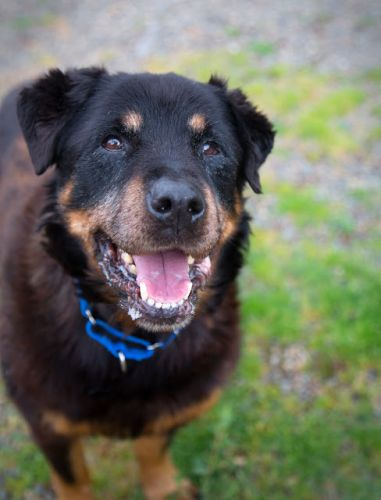"""GRANNY SUE"" sweetheart senior Rottie mix"