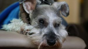 Choosing The Best Joint Supplement for a Schnauzer - 6 Things You Must Know
