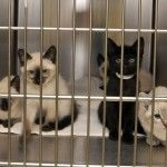Feline Dental Care in New England Animal Shelters