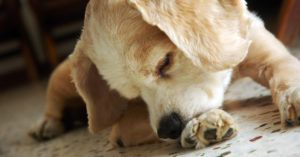 If Your Dog Constantly Licks Its Paws, Make Sure To Do This Every Day