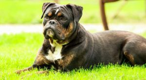 Improve Your Bulldog's Skin & Coat With This One Simple Hack
