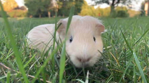 I was looking for another guinea pig to add to