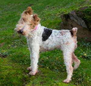 """JANE"" mature spunky and friendly Wire Fox Terrier"
