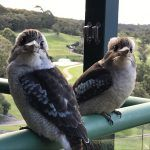 Photographing Laughing Kookaburras with an iPhone