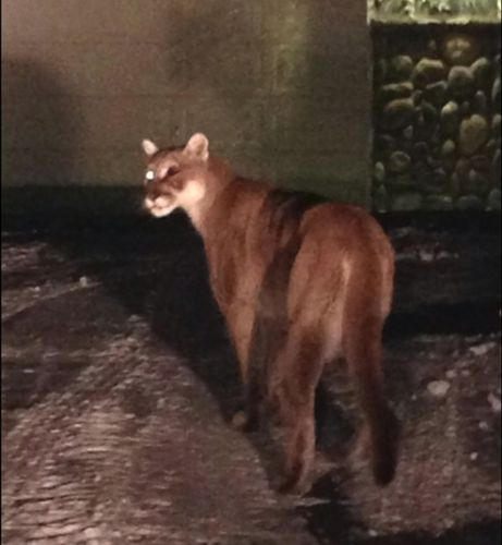 Fish and Game kills mountain lion in Lava Hot Springs | Local | idahostatejournal.com