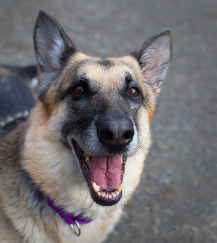 """LEXI"" playful affectionate German Shepherd"