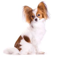 Breed: Papillon