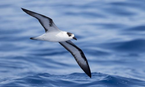 GPS Tracking of Endangered Black-capped Petrels Could Reveal New Nesting Sites