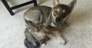 Husky Finds a Kitten at the Shelter and Now They're Best Friends