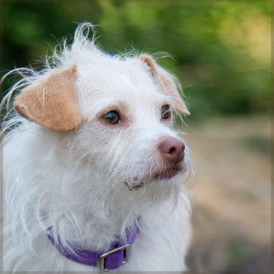 """SAMMY"" cute female Jack Russell Terrier mix"