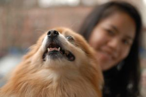 4 Things To Do When Your Pomeranian Is Stressed