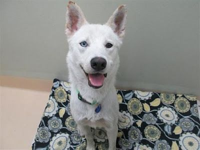 """""""VINNIE"""" lively fun Husky mix - at OHS"""