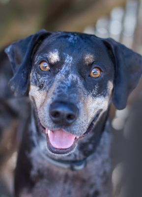 """CHESTER"" nice Catahoula Leopard Dog mix"