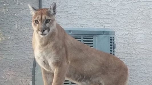 EXTRA! Retirees spotted in mountain lion area
