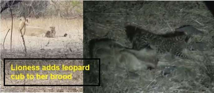 Lioness: Lioness adds leopard cub to her brood in Gir