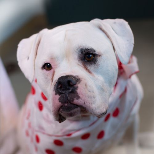 """JASMINE"" sweetheart American Bulldog mix"