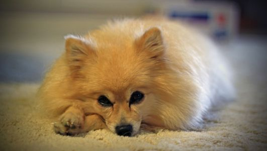 Choosing The Best Joint Supplement for a Pomeranian