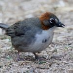 Ground-Sparrows and Brush-Finches