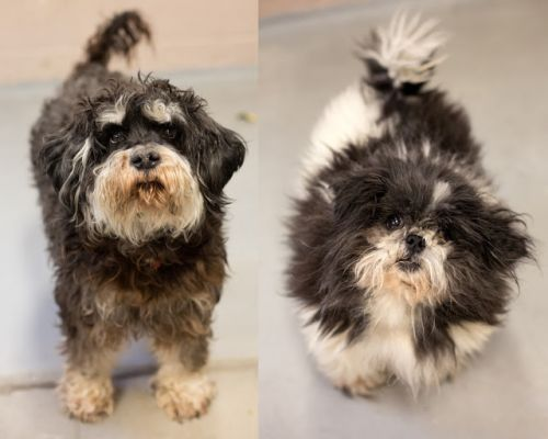 """PANZER"" Bonded Pair! schnauzer and ""CHEWEY"" shih tzu/pom mix"