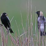 Great Grassland Birds at Shawangunk Grasslands National Wildlife Refuge