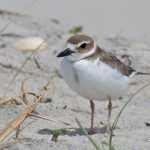 Twenty-Four Hours of Awesome Part Two: Mr. Wilson the Plover