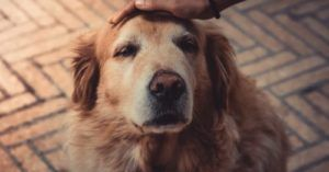 Sundowners Syndrome In Dogs: Is Your Senior Dog Suffering At Night?