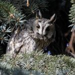 The 701 Long-eared Owl of Kikinda