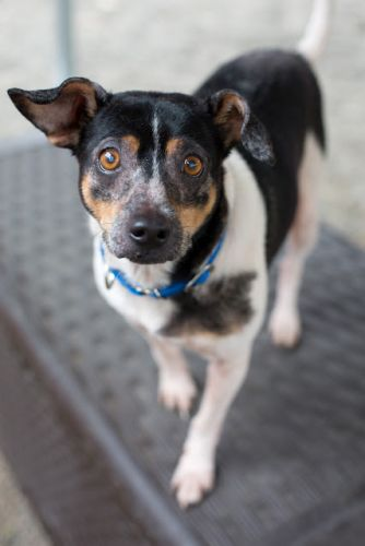 """JESTER"" lovable smart Rat Terrier mix"