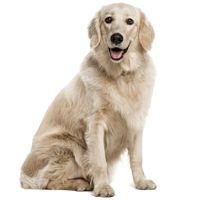 Breed: Golden Retriever