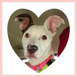 """HEART"" aka ""MARSHMELLOW"" - In Foster Home - teenage american shelter dog mix"