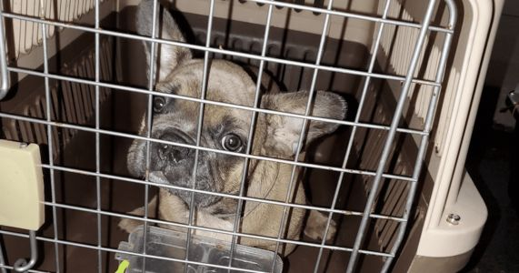 Rescue Fights To Keep Neglected French Bulldog Puppies In The US