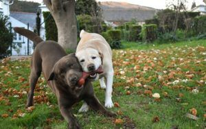 The Color Of Your Labrador's Coat Could Help Predict His Lifespan