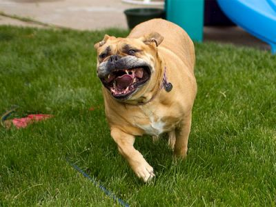 3 Simple Ways To Keep Your Dogue De Bordeaux Teeth Clean