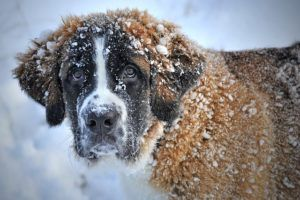 11 Dog Breeds That Were Made For Winter Weather