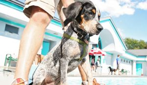 Bluetick Coonhound - An All-Around Canine