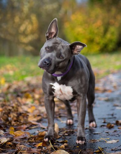 """ROSIE"" gorgeous Bat-earred Grey Pitbull"