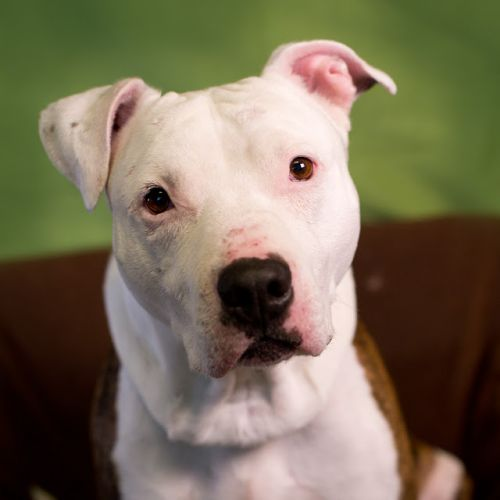 """""""ORION"""" nice white and brindle pitbull"""