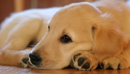 If You've Noticed Your Golden Retriever Is Slower to Get Up, Begin This Routine Immediately!
