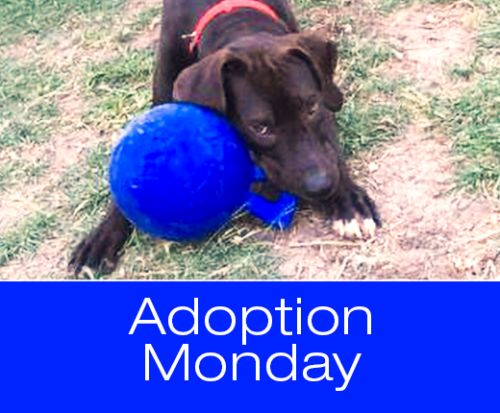 Adoption Monday: Coal, Hound & Great Dane Mix, Killeen, TX