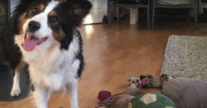 Border Collie Knows Names And Categories Of Her 100 Toys!