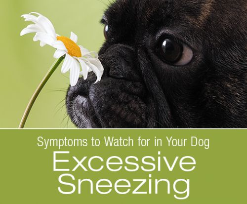 Symptoms to Watch for in Your Dog: Excessive Sneezing