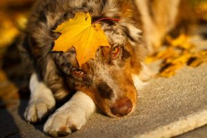 Giving This To Your Australian Shepherd Daily Could Help Alleviate Painful Skin Allergies