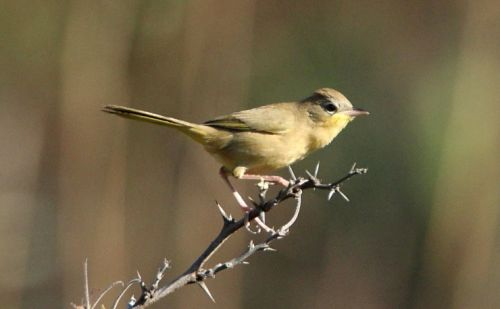 Warblers that Warble