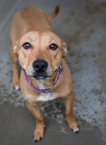 """""""MS BISCUIT"""" absolutely delightful short tan American Shelter Mix"""
