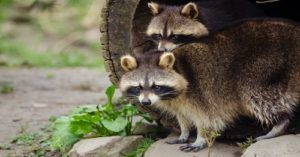 Beware! Zombie Raccoons Are On The Loose